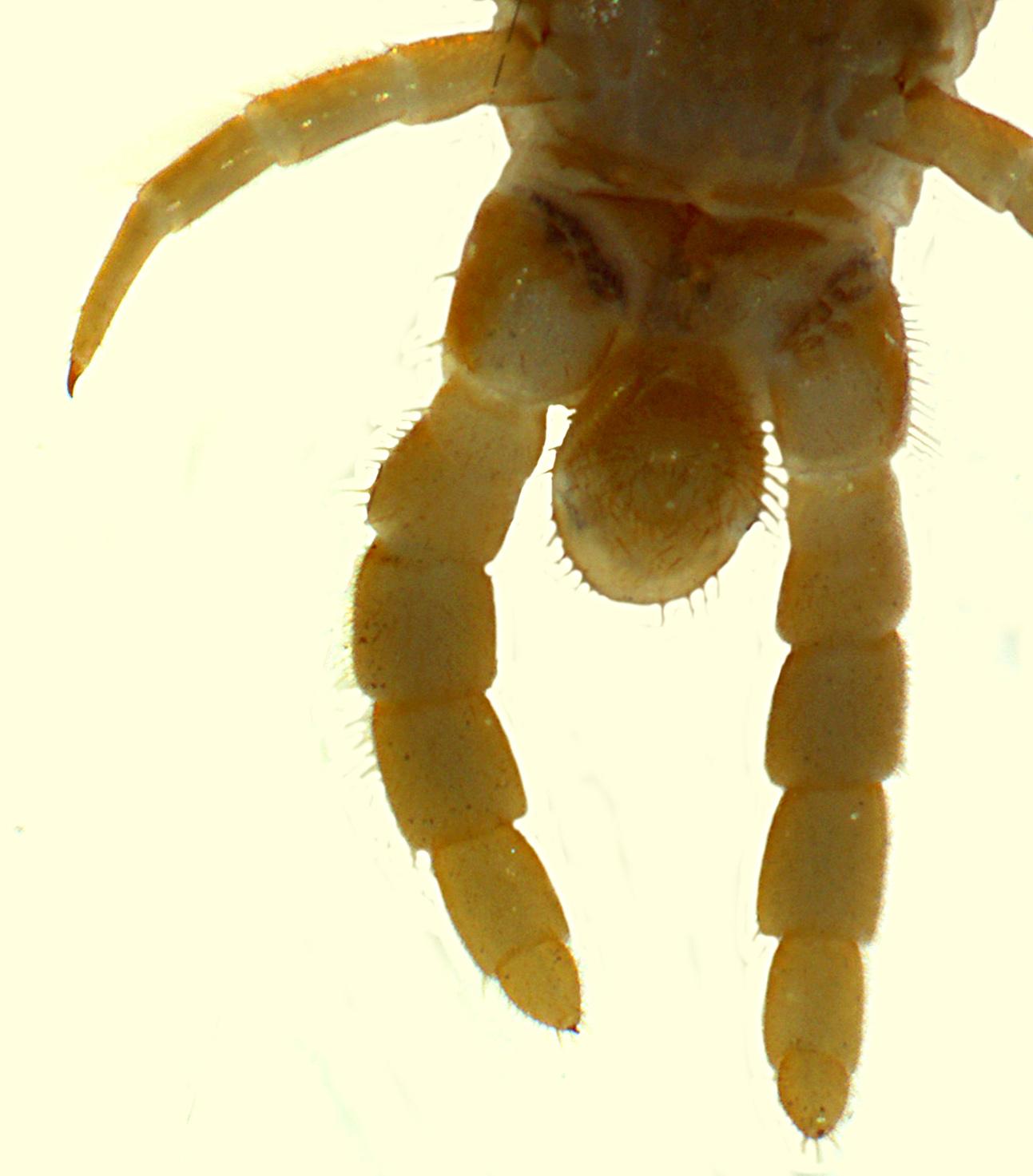 Verdickte Endbeine von einem Männchen von Geophilus carpophagus.