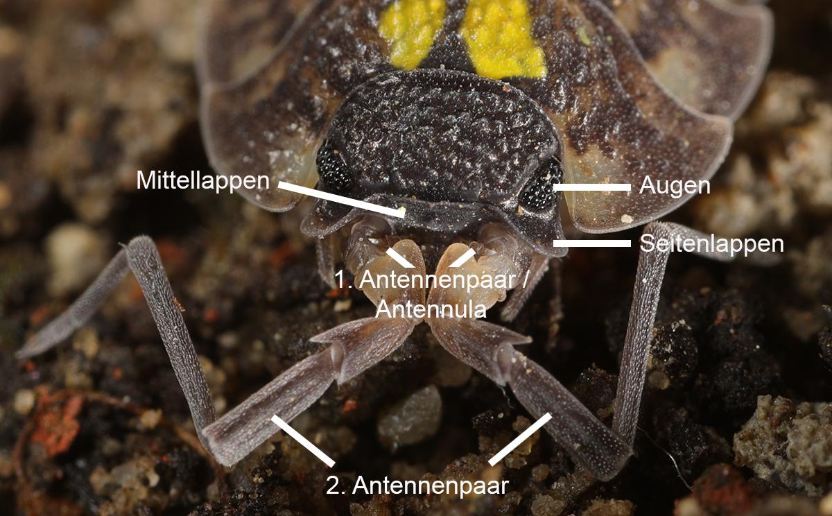 Taxon: Trichoniscus sp. Autor: Axel Steiner Beschreibung: Lebend von unten, Weibchen mit Jungasseln